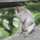 Gray Macaque Monkey, in the Wild Nature in the Jungle. Monkey Is Looking To the Camera and Eating - VideoHive Item for Sale