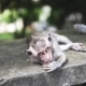 Gray Macaque Monkey, in the Wild Nature in the Jungle. Monkey Is Looking with Wide Opened Eyes - VideoHive Item for Sale