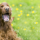 Funny dog laughing - PhotoDune Item for Sale