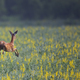Roe deer in the run - PhotoDune Item for Sale