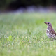 Meadow Pipit in a clearing - PhotoDune Item for Sale