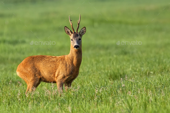 Buck deer in a clearing - Stock Photo - Images