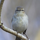 Common chiffchaff (Phylloscopus collybita) - PhotoDune Item for Sale