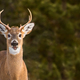 White-tailed Deer - Odocoileus virginianus - PhotoDune Item for Sale