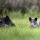 Wild boars in the grass - PhotoDune Item for Sale