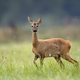 Roe deer in a clearing  - PhotoDune Item for Sale