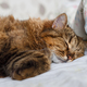 tiger cat sleeping in bed - PhotoDune Item for Sale