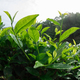 Green tea plants in spring - PhotoDune Item for Sale
