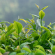 Tea leaves in growth on tree in spring - PhotoDune Item for Sale