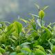 Tea leaves in growth on tree in spring - PhotoDune Item for Sale