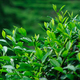 Tea trees in growth at spring - PhotoDune Item for Sale
