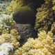 Moray Eel Peeking Out of a Coral Reef - VideoHive Item for Sale