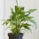 Peace Lilly Plant  After Being Watered - VideoHive Item for Sale