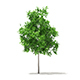 Sugar Maple 3D Model 2.9m - 3DOcean Item for Sale
