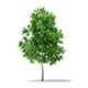 Sugar Maple 3D Model 3.3m - 3DOcean Item for Sale