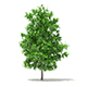 Sugar Maple 3D Model 4.2m - 3DOcean Item for Sale
