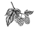 Hand-drawn hops, flavoring and stability agent in beer - PhotoDune Item for Sale
