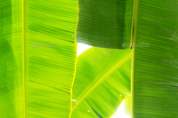banana leaves at sky - Stock Photo - Images