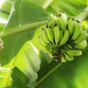 Bananas on tree - PhotoDune Item for Sale