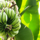 Bananas are growing at sunlight - PhotoDune Item for Sale