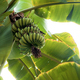 bananas on tree at sky - PhotoDune Item for Sale