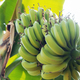 bananas are grown on tree - PhotoDune Item for Sale