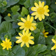 Spring flower lesser celandine (Ficaria verna) in a nature - PhotoDune Item for Sale