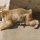 Sleepy Monkey on Ground with Shades of People Walking Around It and Making Photos - VideoHive Item for Sale