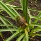 Pineapple Plantation - PhotoDune Item for Sale