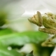 Creobroter Meleagris Mantis Eating Something in Flower - VideoHive Item for Sale