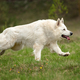 Berger Blanc Suisse White german shepherd - PhotoDune Item for Sale