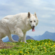 Berger Blanc Suisse White german shepherd - PhotoDune Item for Sale