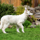 Berger Blanc Suisse White german shepherd poppy - PhotoDune Item for Sale