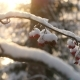 Ashberry Covered With Snow. Snowy Forest on Winter Time, Sun Shines - VideoHive Item for Sale
