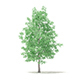 American Sweetgum 3D Model 5.4m - 3DOcean Item for Sale