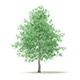 American Sweetgum 3D Model 6.3m - 3DOcean Item for Sale