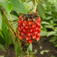 Indonesian Pineapple or Wax Ginger Plant - PhotoDune Item for Sale