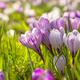 many crocus flowers on green meadow - PhotoDune Item for Sale