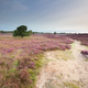 path through meadows with flowering heather - PhotoDune Item for Sale