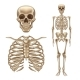 Vector Human Skeleton - GraphicRiver Item for Sale