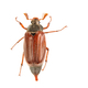 Cockchafer (Melolontha melolontha) on a white background - PhotoDune Item for Sale