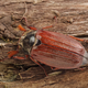 Cockchafer (Melolontha melolontha) on a wood - PhotoDune Item for Sale