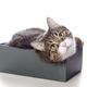 Beautiful gray cat lying in a box - PhotoDune Item for Sale