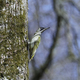 European green woodpecker (Picus viridis) - PhotoDune Item for Sale