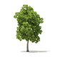American Elm 3D Model 8.5m - 3DOcean Item for Sale