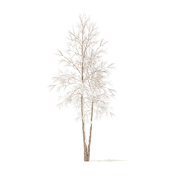 River Birch with Snow 3D Model 4.9m - 3DOcean Item for Sale