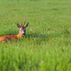 Buck deer resting in a clearing  - PhotoDune Item for Sale