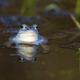 Moor frog on the lake - PhotoDune Item for Sale