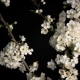 Flowering White Flowers - VideoHive Item for Sale