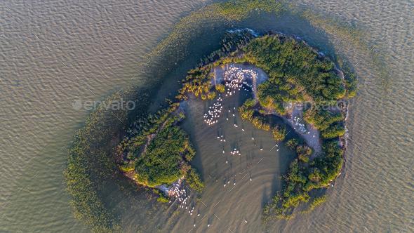 dalmatian pelicans (pelecanus crispus) in Danube Delta Romania. Aerial view with drone. - Stock Photo - Images